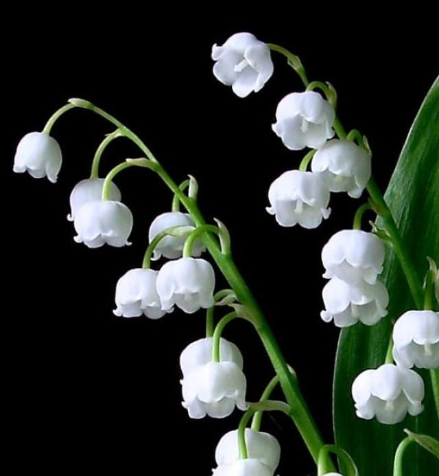 Lily Of The Valley Black And White