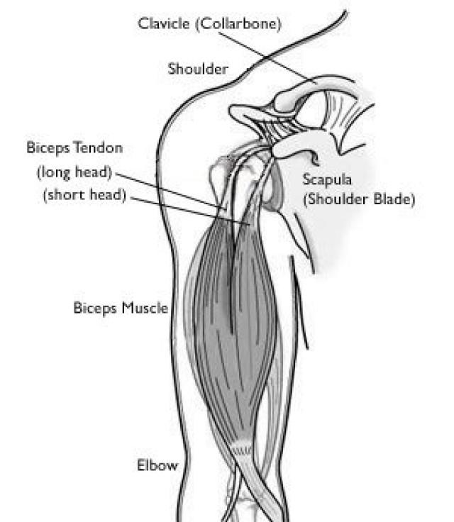Biceps tendon anatomy