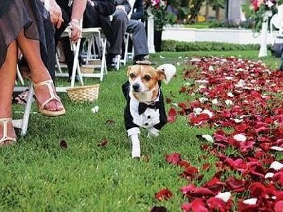 Labrador at wedding