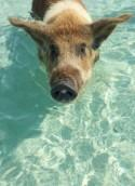 Swim With Pigs In This Caribbean Honeymoon Paradise