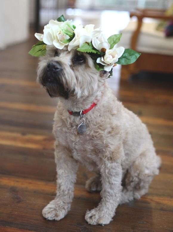 زفاف - زهرة الكلب!