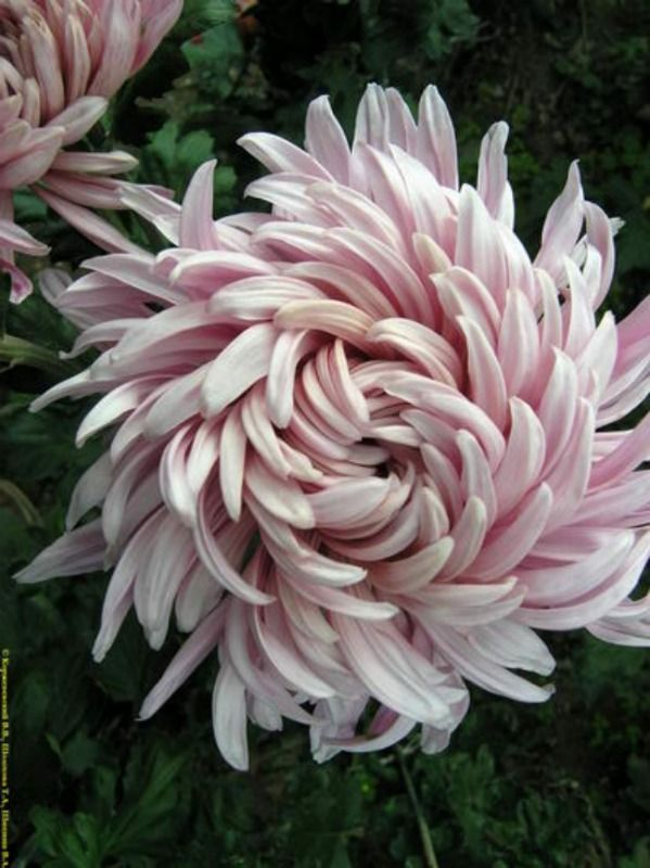 Wedding - Chrysanthemum