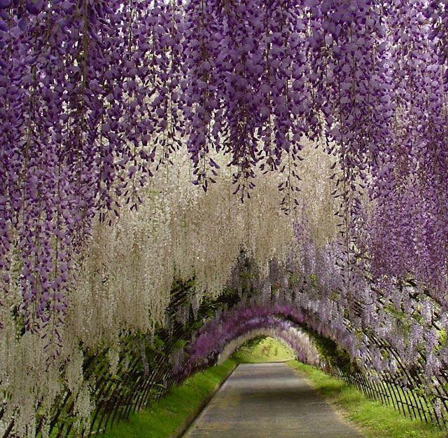 Japanese Garden, Kawachi Fuji