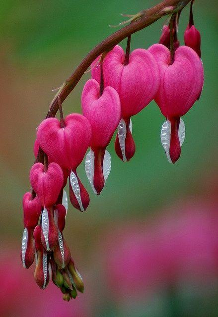 bleeding heart see more about bleeding heart flower bleeding hearts ...