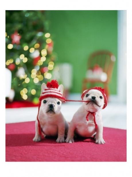 Wedding - Christmas Puppies