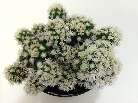 Mariage - Cactus Plant. Arizona Snowcap is a hybrid of the Thimble Cactus with dense, white, clustering spines!!