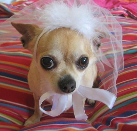 زفاف - Wedding Pet BRIDAL veil