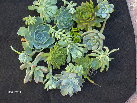 Свадьба - Succulent Wedding Favors - A Collection of 24 Succulent Cuttings Great for Wreath Making, Bouquets, Party Favors, Wedding Favors