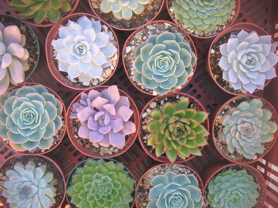 Mariage - 30 LARGE Succulent Plants, All Rosette Shape, Great For Bouquets, Wedding Decor And Centerpieces