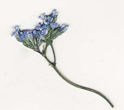 Hochzeit - Pressed Blue Limonium - Real Pressed Flowers - Blue Pressed Dried Flowers