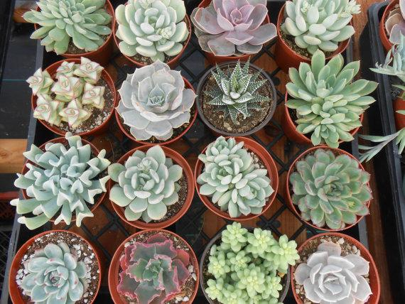 8 Large Succulent Plants A Nice Collection Great For Home Decor