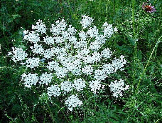 Свадьба - Queen Anne's Lace, Ammi majus, 2000 seeds, easy wildflower, cutting garden, wedding bouquets annual all zones, full sun, drought tolerant