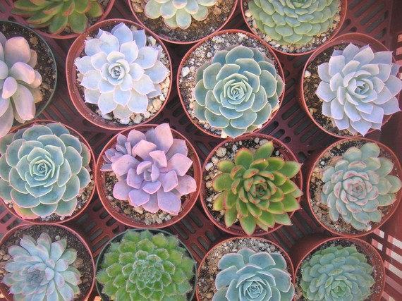 زفاف - 6  Large Succulent Plants, Great For Bouquets, Centerpieces and Home Decor, Rosette Shape, TREASURY ITEM