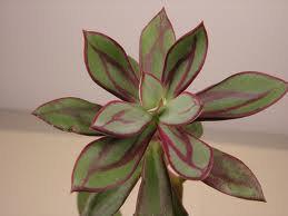 Mariage - Succulent Plant. Echeveria Nodulosa. Beautifully variegated coloring.