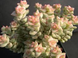 Wedding - Succulent Plant. Crassula Tom Thumb. Adorable medium succulent.