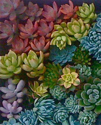 Mariage - 25 SUCCULENT CUTTINGS, rosettes, colorful, yellow, pink, purple, blue, green....