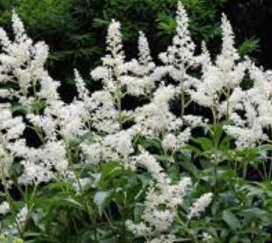 Mariage - Bridal Veil White Astilbe plants ( false spirea ) ( 1 gallon )