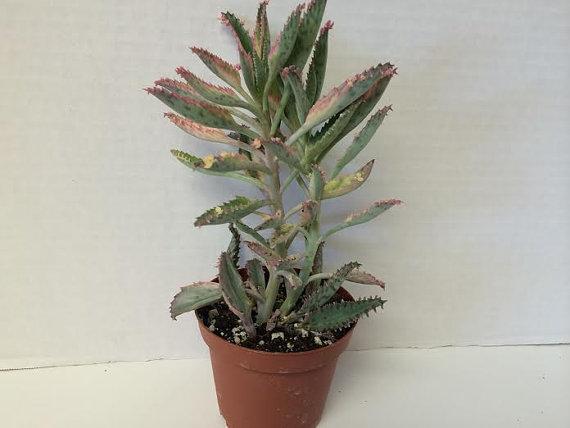 زفاف - Succulent Plant Kalanchoe Pink Butterflies. Lovely pink trim on these fleshy leaves resemble an octopus tenacle.
