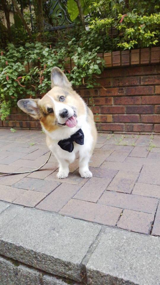 زفاف - Large black velvet butterfly bow tie Dog bow tie large Black bow tie Dickie bow collar attachment for wedding birthday photo prop  (size L)