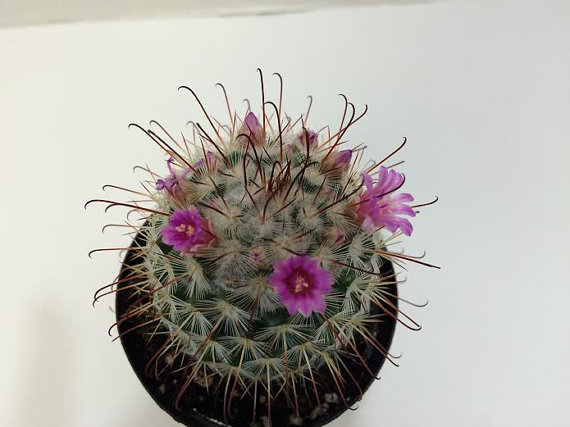 Mariage - Cactus Plant. Silken Pincushion Cactus. A spiney and fuzzy catus!