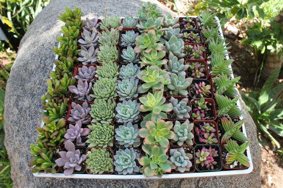 """Mariage - 275 Gorgeous Classic 2"""" Succulents Perfect for WEDDING FAVORS and Party Gifts or Ccenterpiece Table Decor"""