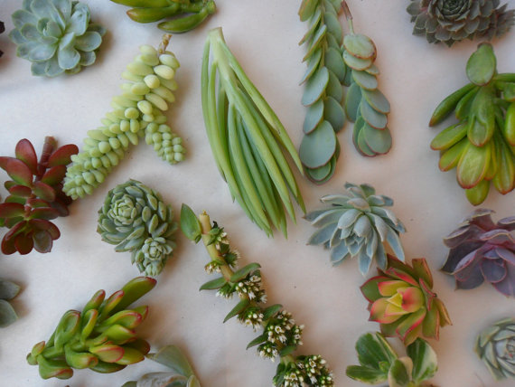 Hochzeit - 18 Succulents Cuttings, Terrarium, Great For Table Decor, Rustic Weddings, Living Wall Art
