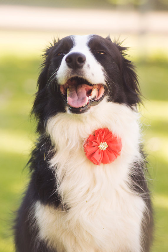 Mariage - Dog collar flowers, Girl dog accessories, Dog collar Bow, Dog Bow, Collar Bows, Detachable Bows, Collar Flowers, Dog Collar, Set of three
