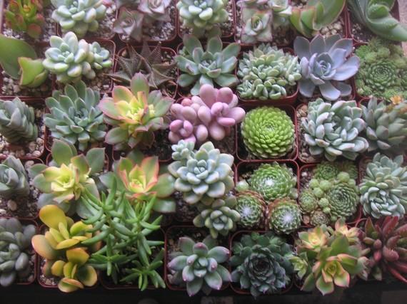 زفاف - Succulents Galore, Collection Of 100 Succulents, TOP QUALITY, Great For Weddings, Baby Showers And Special Events, Favors