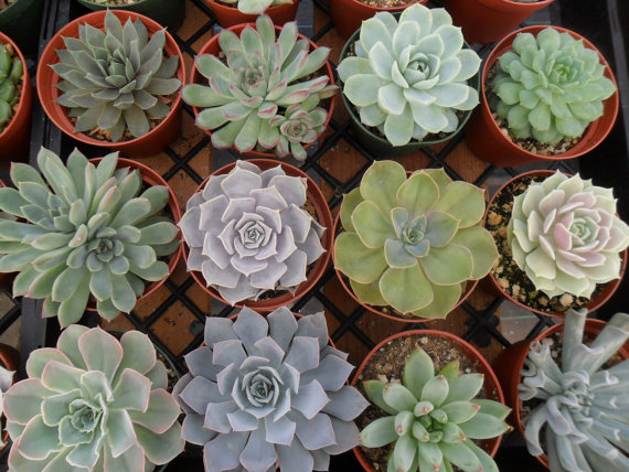 9 Large Succulent Plants, Rosette Shape, Centerpiece