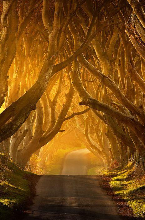 Boda - The Dark Hedges: Antrim, Ireland