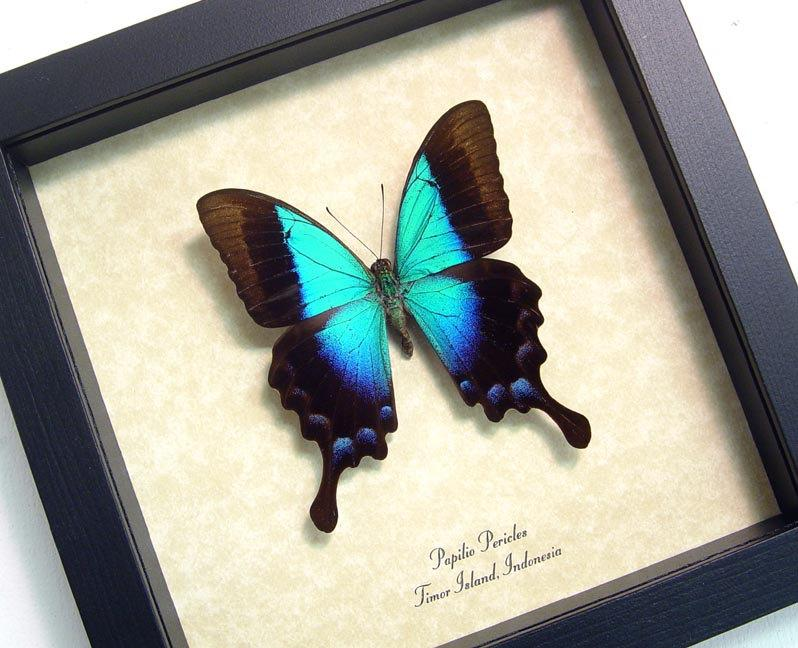 Wedding Gift Real Framed Rare Blue Glosswing Papilio Pericles ...