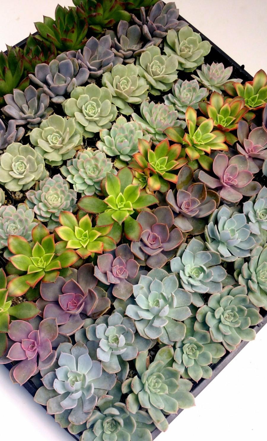 Mariage - 40 Beautiful Mixed Rosette Succulents