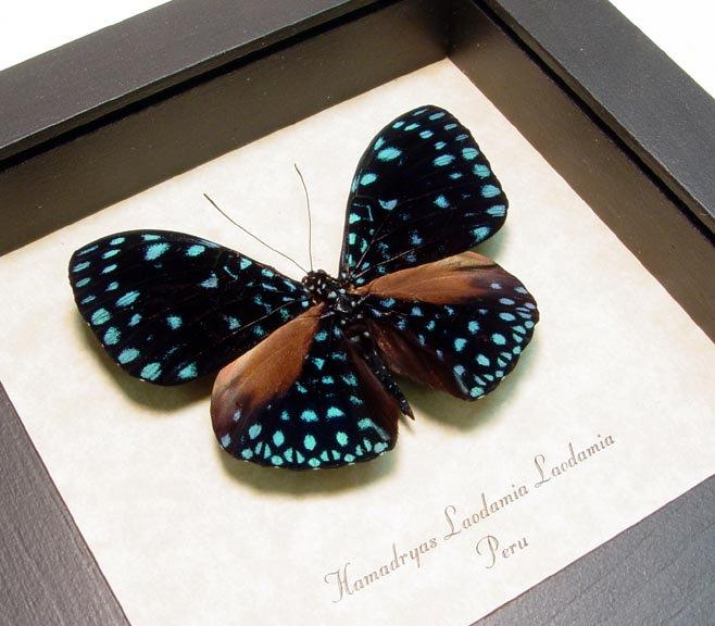 Mariage - Wedding Gift Real Framed Starry Night Real Van Gogh Blue Butterfly Laodamia 1109