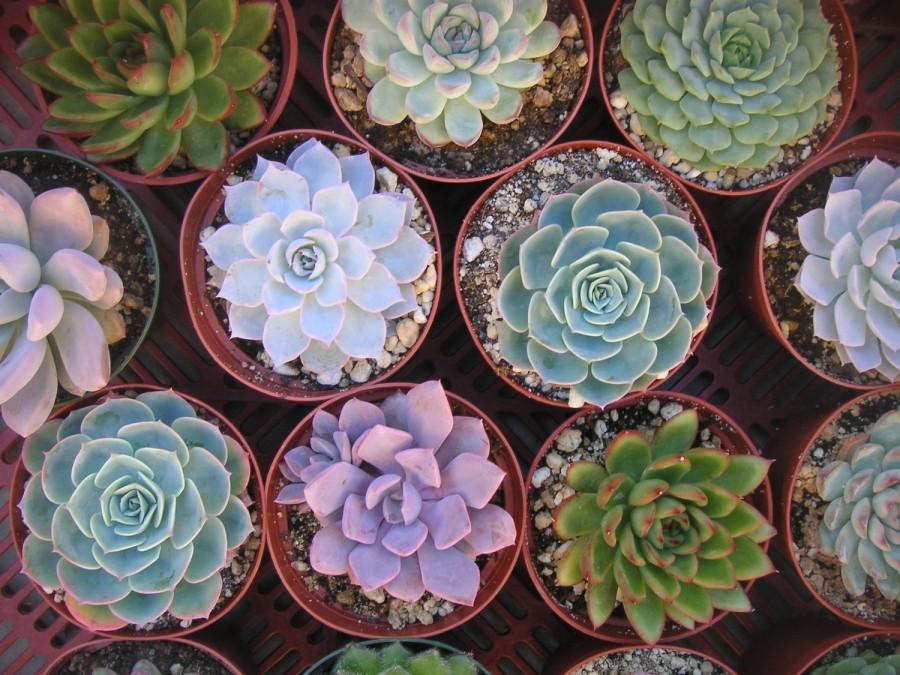 Свадьба - Large Succulent Cuttings, 6 Rosettes, Great Size For Your Bouquet, Wedding Decor, Centerpieces,  From 4 Inch Pots