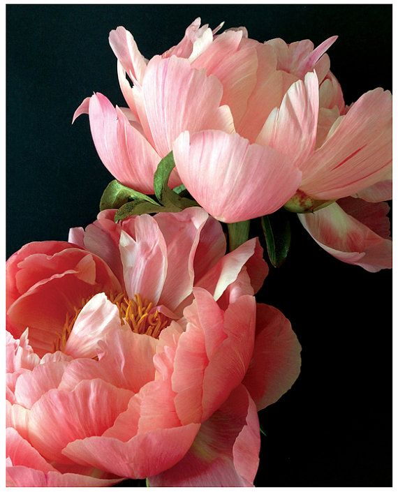 Hochzeit - Two Pink Peonies II