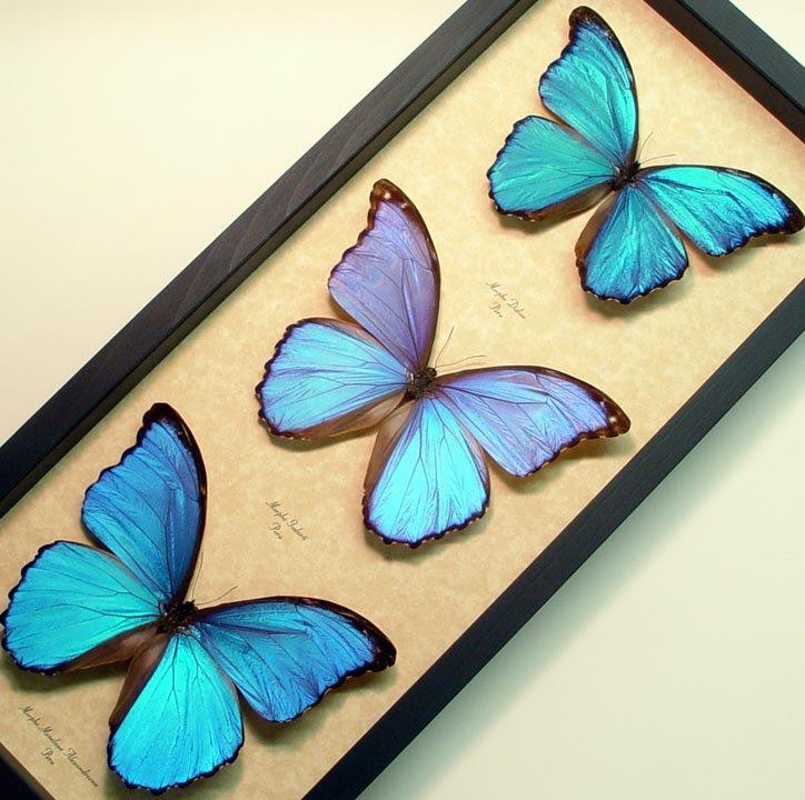 Hochzeit - Wedding Day Gift Giant Blue Morpho Collection 3 Real  Framed Butterflies 8111