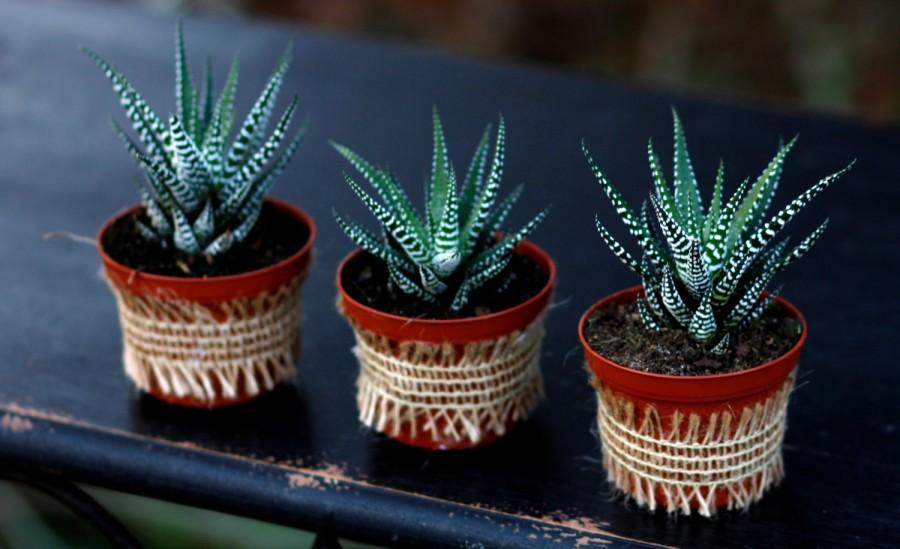 Mariage - Haworthia Zebra Succulent Plant, Wedding Favor, Aloe Family