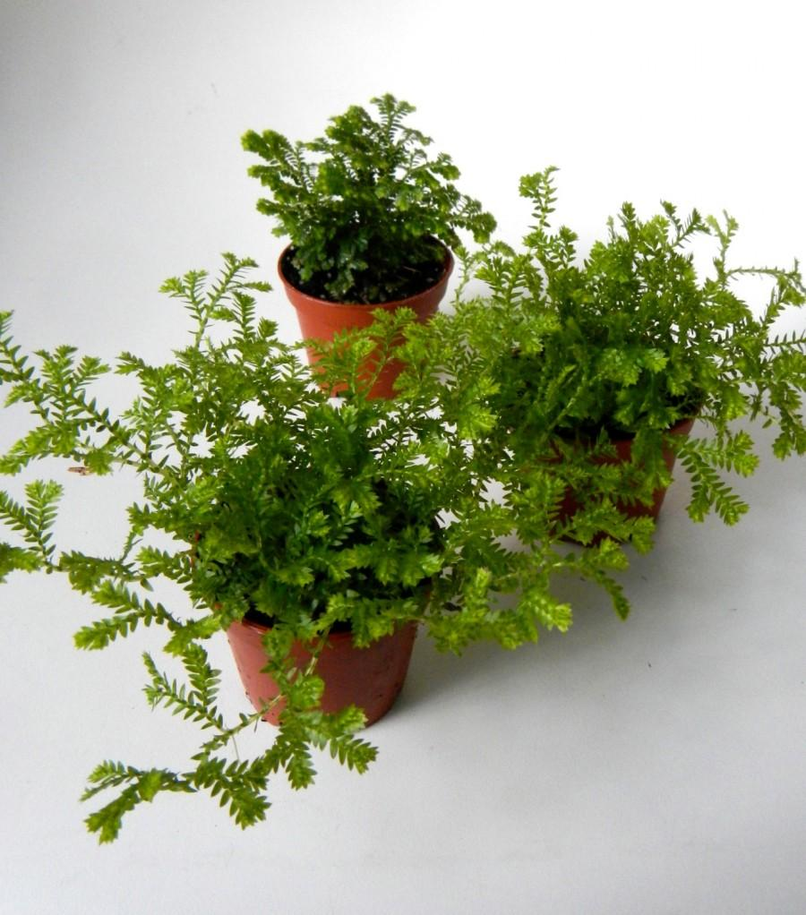 "Mariage - Mini Mossy Fern Plants - 2"" Potted Set of 3 - Terrarium Plants - Party Favors"