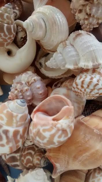"Mariage - 1/2 Gallon - Large Mixed Seashells 1""-3"" each.  - Weddings, crafts and coastal home decorating"