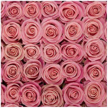 Hermosa pink rose dusty pink fresh rose wedding rose pink hermosa pink rose dusty pink fresh rose wedding rose pink wedding spring wedding diy bride diy flowers diy roses mightylinksfo