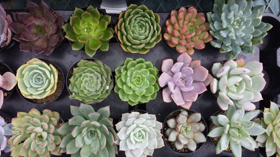 Свадьба - Succulent Plant - You Choose 4
