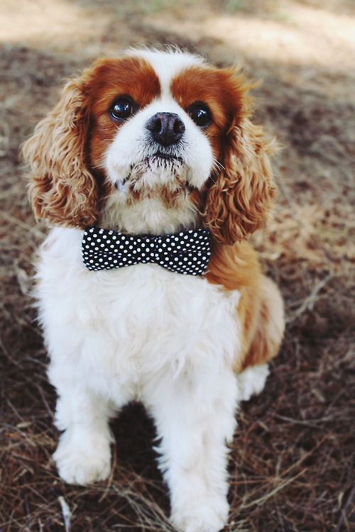 Wedding - Cavalier King Charles Spaniel