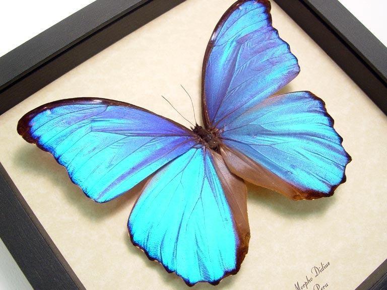 Свадьба - Wedding Day Gift Morpho Didius Giant Blue Best Seller for 14 Years 416