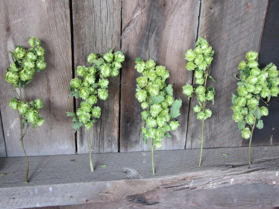 Mariage - 3 Dried Hops Flowers Stems, Hops Flowers with stems, Dried Hops Bouquet, Bridal bouquet Hops, Green Hops Flowers with stems, Beer Hop Stems