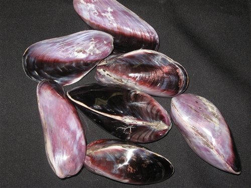 Mariage - Purple Philippine (Polished) Mussel Seashell  (1 Shell)