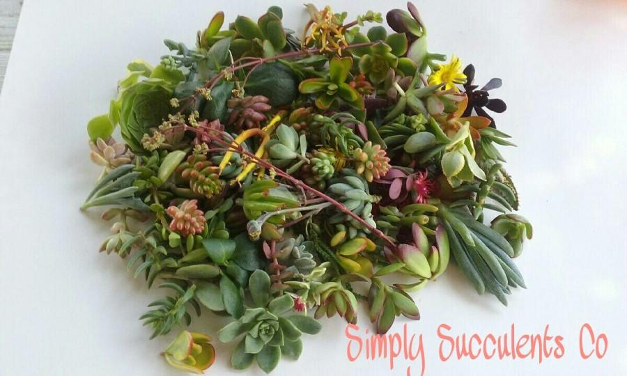 Wedding - 200 Assorted Succulent Cuttings