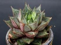 wedding photo - Succulent Plant. Echeveria Purpusorum. Spiky plant with gorgeous bell shaped flowers.