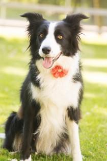 wedding photo - Dog collar flowers. Girl dog accessories, dog, Flower dog collar, Dog collar embellishment, Dog collar decoration, dog collar, collar bling,