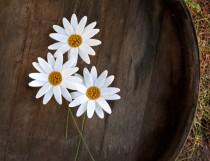 wedding photo - Felt Daisy Flowers - Set of 3
