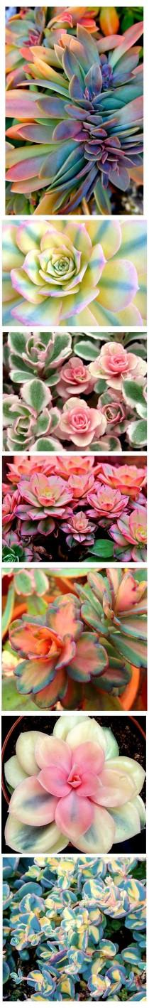 wedding photo - Variegated Succulents . Are These Real??? Would Love To Have Some Of These